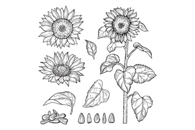 Sunflower sketch. Vector seeds, blooming flowers collection