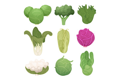 Cabbage pictures. Farm vegetarian ingredients eco diets green food vec