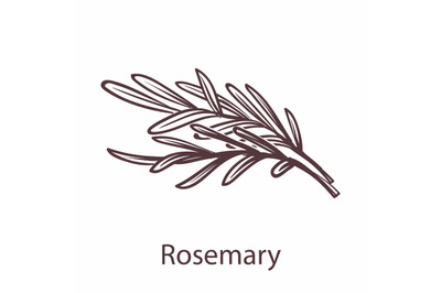 Rosemary icon. Botanical hand drawn branch sketch for labels and packa