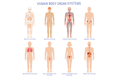 Cartoon human body organs systems. Anatomical biology systems, skeleto