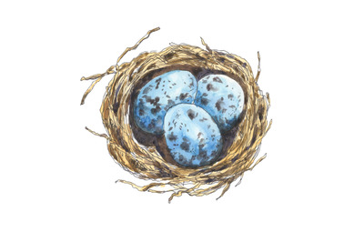 Bird's nest with eggs hand drawn in watercolor