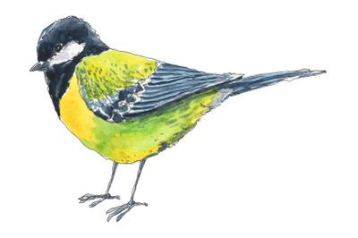 Titmouse bird hand drawn in watercolor