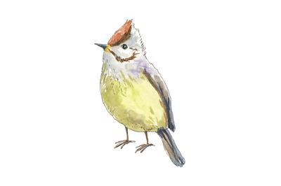 Little waxwing bird