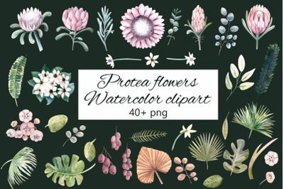Protea flowers. Watercolor clipart