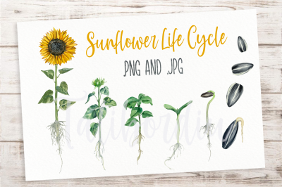 Sunflower Life Cycle Clip Arts and Print