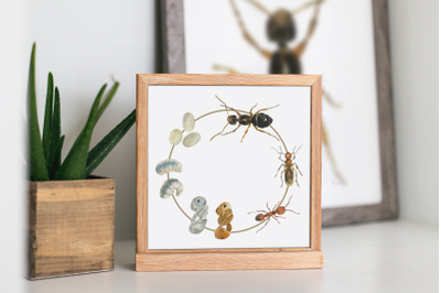 Ant Life Cycle Clip Arts and Print