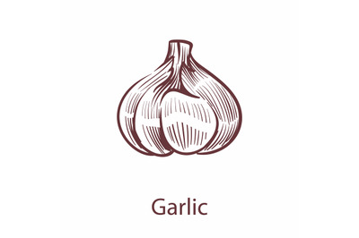 Garlic hand drawn icon. Vegetable in old ink style for brochures, bann