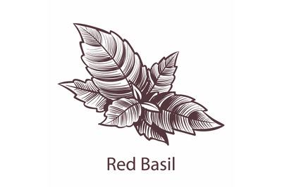 Red Basil icon. Detailed organic product sketch, botanical hand drawn