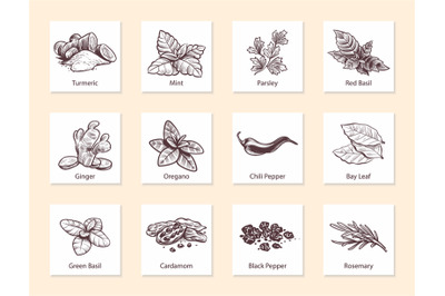 Spices and herbs. Hand drawn ginger, chilli and black pepper, green ba