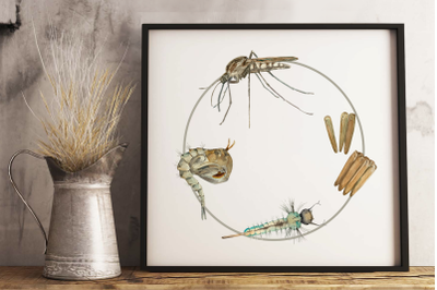 Mosquito Life Cycle Clip Arts and Print