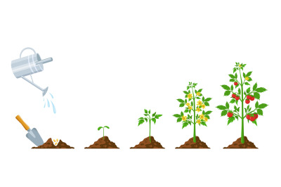 Tomato growth. Stages of plant seeding, flowering and fruiting. Vegeta