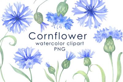 Watercolor  blue cornflowers Clipart