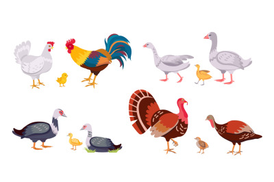 Farm poultry, domestic birds family, hen and rooster. Turkey with chic