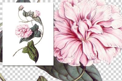 Camellia Pink Vintage Watercolor Flowers