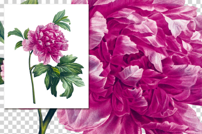 Pink Mountain Peony Vintage Watercolor Flowers