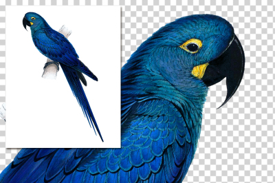 Parrot Hyacinthe Maccaw Vintage Watercolor Blue Bird