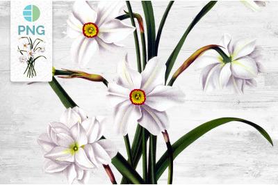 White Daffodils Clipart