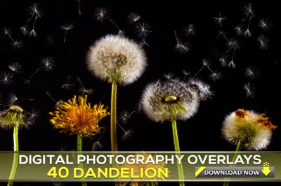 40 DANDELION Photo Overlays