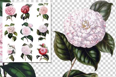 Flowers Camellia Flowers