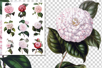 Vintage Watercolor Flowers Camellia Collage 01
