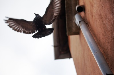 Bird with wide wing spread flying near the building