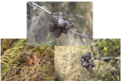 Galls insects Rosalie gall-fly, hanging on a branch, old and new, house its larvae, a set of three pictures of 300 dpi in high quality.