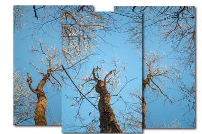 A tall tree from the bottom up, illuminated by the sun, three pictures with a resolution of 300 dpi.