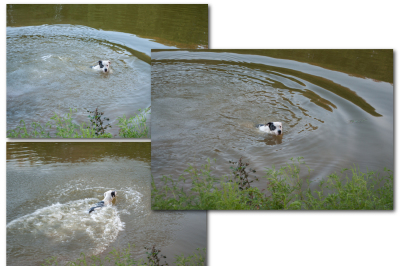 A dog swims in the lake, a series of photographs, JPEG 300 dpi.