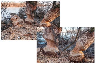 Beavers chewed trees in Hydropark, Kiev, Ukraine. Two photos, JPEG 300 dpi.