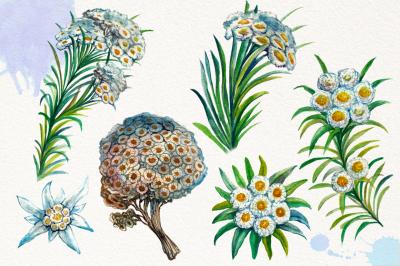 Watercolor Edelweis