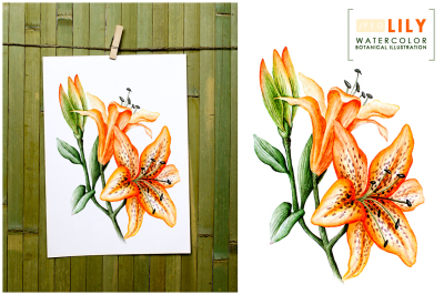 Lily watercolor botanical