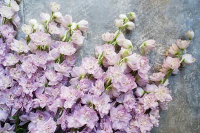 Lilac delphinium