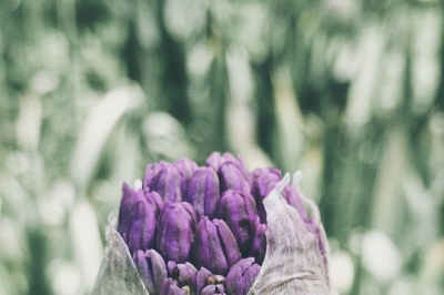 Allium in Spring
