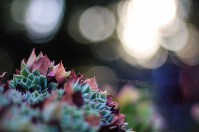 Soft Focus Succulent with Bokeh