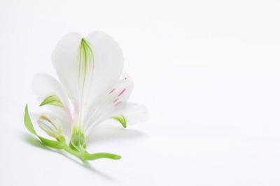 White lily flower on light background