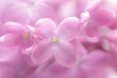 Soft focus lilac flower background. Made with lens-baby and macro-lens.