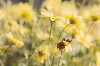 Busy Bee On A Yellow Daisy