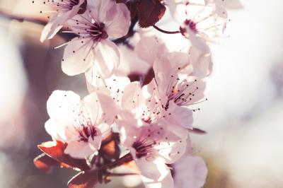 Romantic Spring Cherry Blossoms