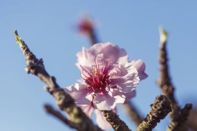 Close Up Spring Cherry Blossoms