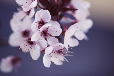 Blue Tinted Spring Cherry Blossoms