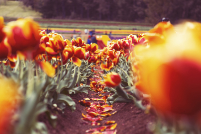 Bright Orange Tulip Farms