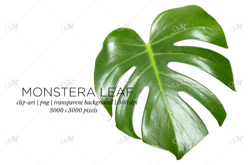 Free Monstera Leaf Photo Clip-art (PSD Mockups)