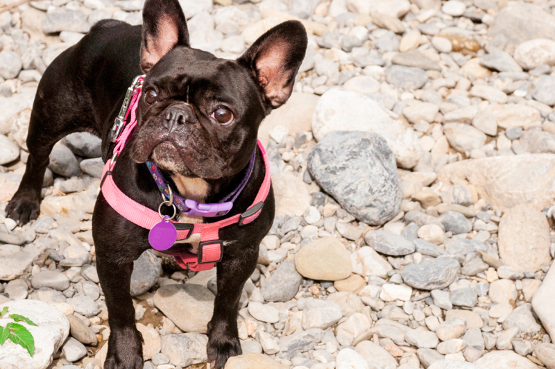 adorable-french-bulldog-on-a-cobblestone-and-watchful