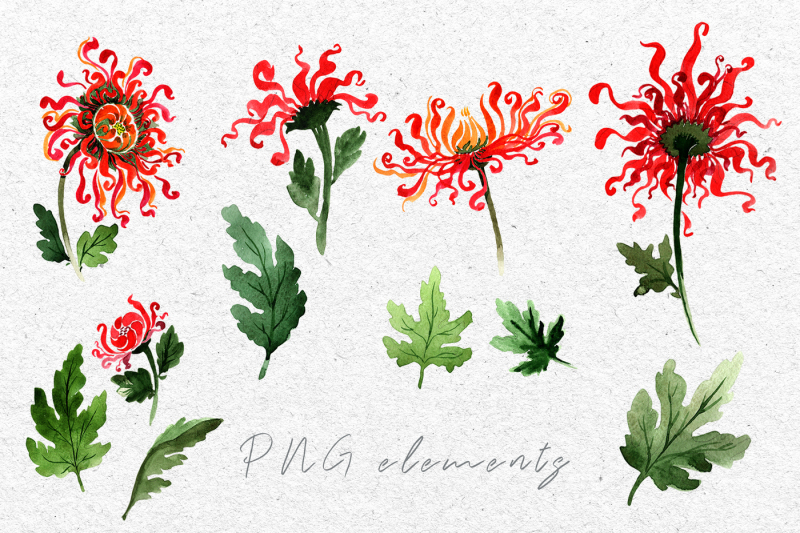 chinese-chrysanthemum-png-watercolor-set