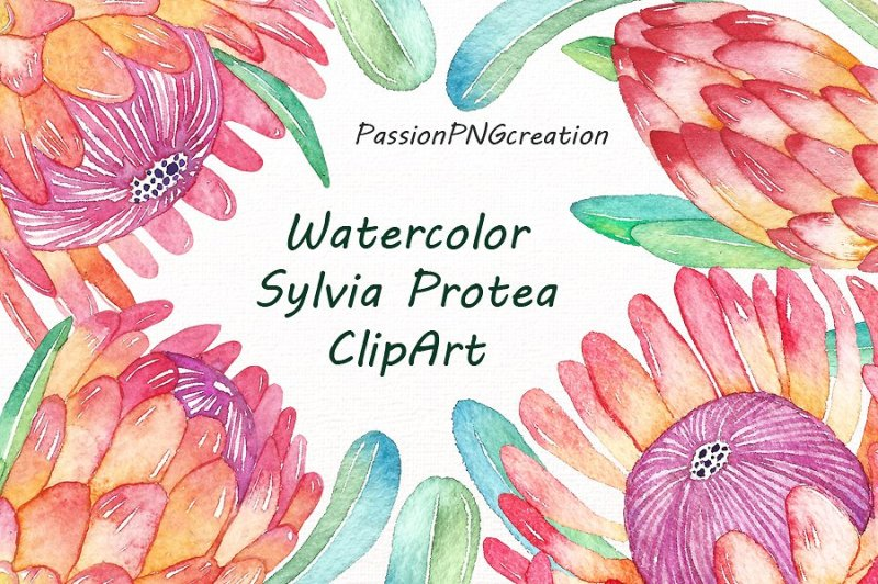 watercolor-sylvia-protea-clipart