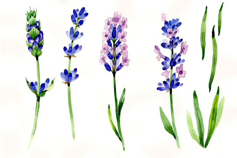 nice-flower-purple-lavender-png-watercolor-set