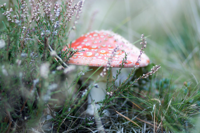 magical-amanita-in-the-grass
