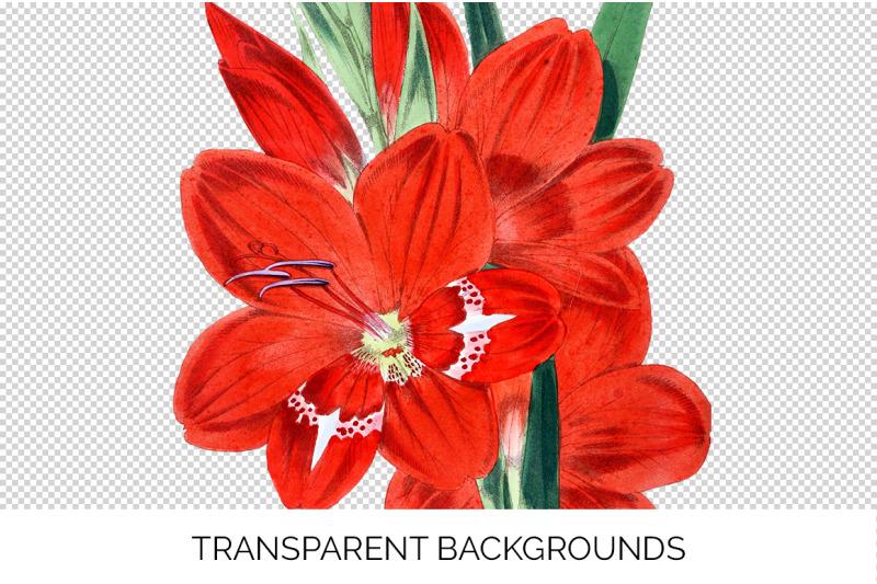 gladiolus-red-flower-clipart