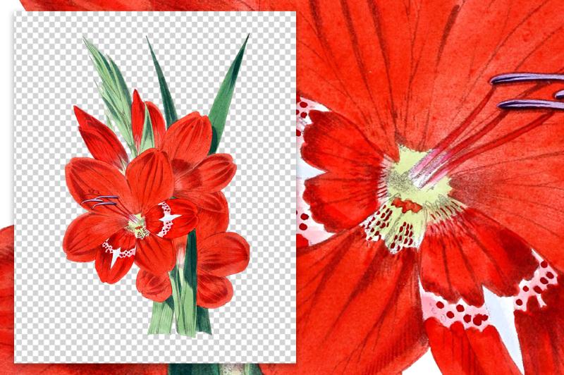 flowers-vintage-gladiolus-cruentus
