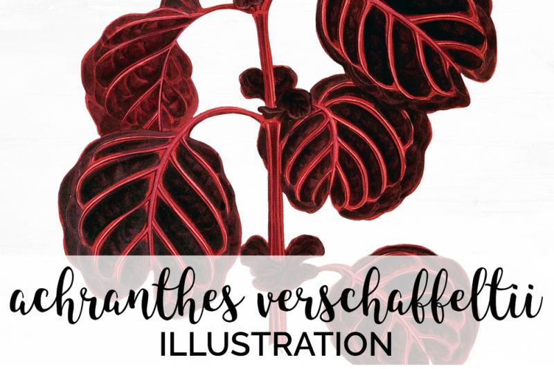 leaves-vintage-achranthes-verschaffeltii